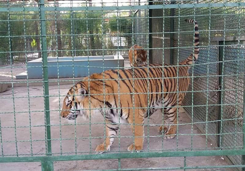 پژمانفر: دادستان در حال بررسی علل مرگ ببرهای باغ وحش مشهد است